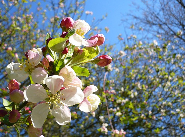 Close-up image of a crab apple tree bloom with white flowers and red apples