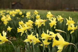 Image of a field of yellow daffodils