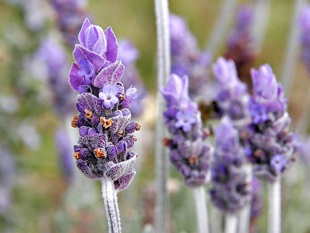 Image of English Lavender, a tall, spindly plant with purple flowers atop