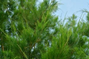 Close-up image of a cypress tree branch