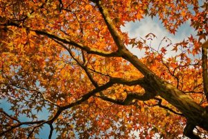 Image of a maple tree in the fall with red leavees looking up to the sky